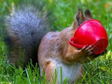 Eichhörnchen und rote Tasse - Eichhörnchen und rote Tasse auf dem Rasen