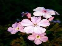 Phloxes. - Floxes rosados e perfumados.