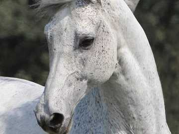 laufendes weißes Pferd - laufendes weißes Pferd ..............................