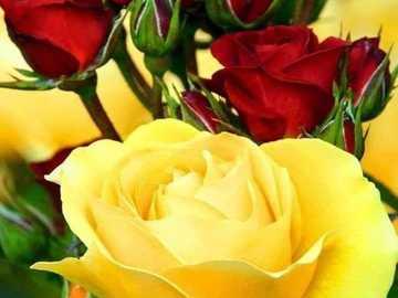 rote und gelbe Rosen - Sträucher mit roten und gelben Rosen