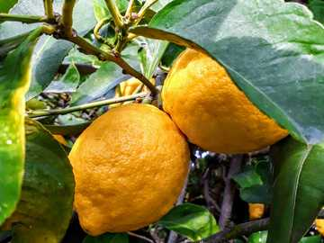 Fresh lemons !! - yellow citrus fruit on tree. Κεραμίδι, Αιτωλοακαρνανία, Ελλάδα