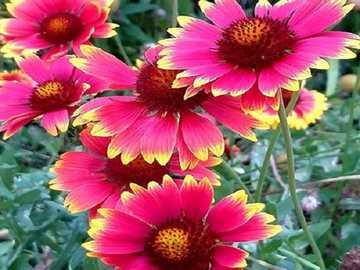 Margaretki. - Florescendo no outono passado.