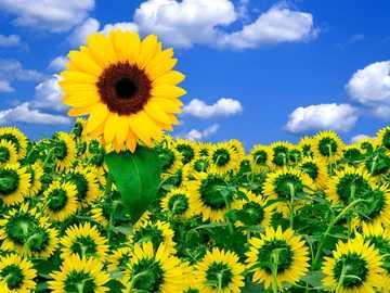 Flores do sol - As flores do sol são amarelas frescas