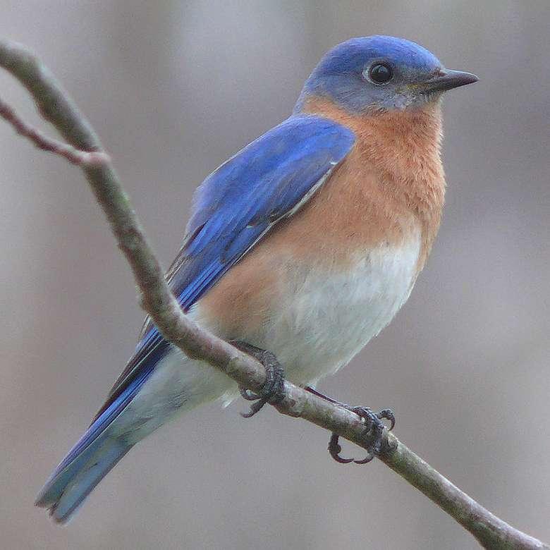 Rotkehldrossel - Bluebird [3] (Sialia sialis) - eine Vogelart aus der Familie der Drosseln (Turdidae).