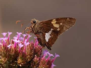 Silver-spotted Skipper - Epargyreus clarus. - Epargyreus clarus, the silver-spotted skipper, is a butterfly of the family Hesperiidae. It is claim