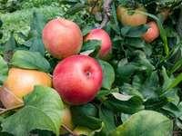 ripe apples - ripe apples on the tree