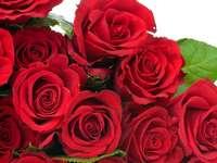 muitas rosas vermelhas