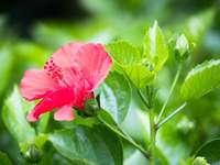 Розово цвете