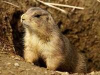 Chien de prairie à queue noire - Chien de prairie à queue noire [5], anciennement: chien de prairie [6] [7] (Cynomys ludovicianus) �