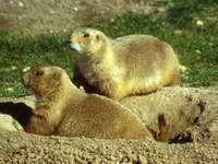 Präriehund ... - Präriehund [6] (Cynomys) - eine Säugetiergattung aus der Unterfamilie Afrovichi (Xerinae) aus der
