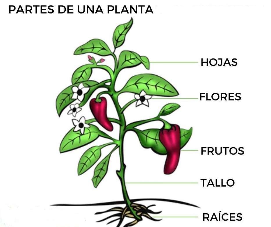 A növény részei