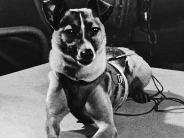 łajka az űrbe repült kutya - laika meghalt a galaxisban, de történelemmé tették