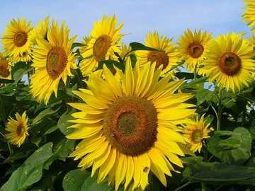 Girassol Seca - Seca de girassol, girassóis amarelos e marrons com plantas verdes e céu azul.