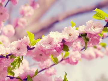 Cherry Blossom - the beautiful cherry blossoms