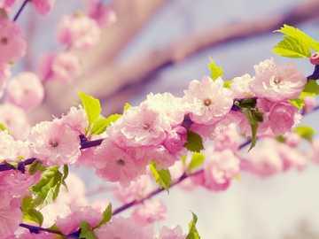 fiore di ciliegio - i bellissimi fiori di ciliegio
