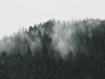 alberi verdi - Foresta nebbiosa. Žabljak, Montenegro