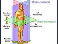 Płaszczyzny anatomiczne - Ułóż następującą anatomiczną układankę