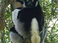 Short-tailed Indris - Indris short-tailed [3], indrys, babakoto (Indri indri) - a species of fruit-eating primate from the