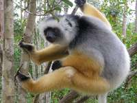 Sifaka ... - Sifaka [4] (Propithecus) - a genus of primate from the Indridae family.