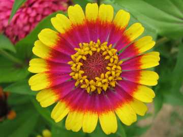 Zinnia ... - Zinnia, Jacobin (Zinnia L.) - um gênero de plantas pertencentes à família Asteraceae. Inclui cerc