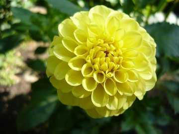 Dahlia (planta) - Dahlia, Georgia (Dahlia Cav.) - um gênero de plantas com sementes pertencentes à família Asterace