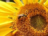 schöne Sonnenblume - schöne Sonnenblume mit Biene