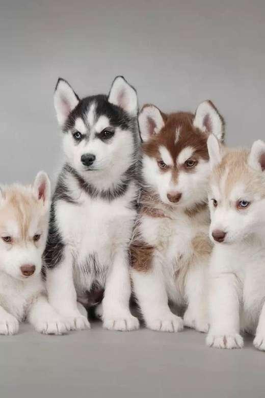Câini husky