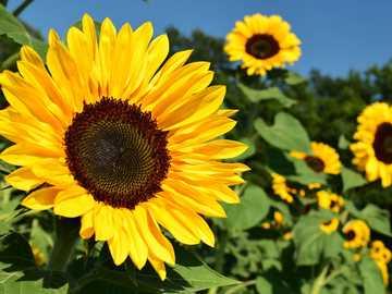 Girassol - É uma flor amarela, que brilha voltada para o sol