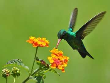 A virág és a kolibri - a kolibri a virágok nedvével táplálkozik