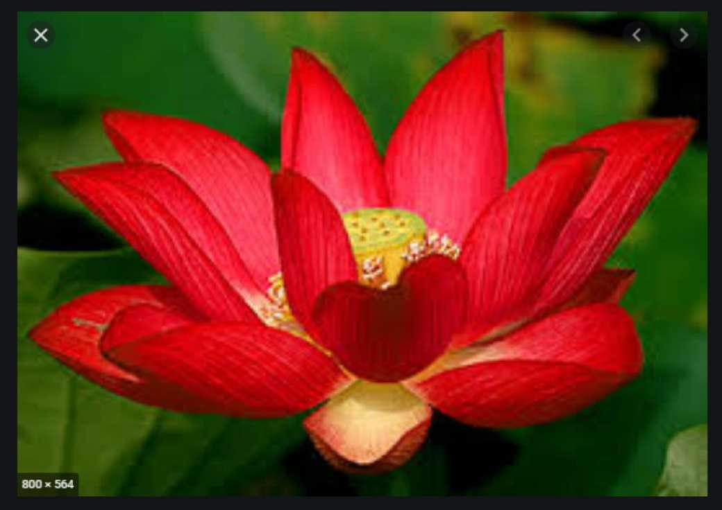 De lotusbloem - De bloem is mooi, aquatisch en heeft veel variëteiten (9×7)