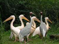 Roze pelikaan - Roze pelikaan, babapelikaan (Pelecanus onocrotalus) - een soort grote watervogel uit de pelikaanfami