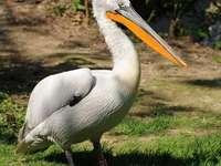 Dalmatische pelikaan - Dalmatische pelikaan (Pelecanus crispus) - een soort grote, trekkende watervogel uit de pelikaanfami