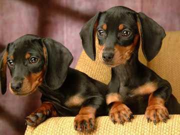 2 χαριτωμένα μικρά dachshunds - 2 χαριτωμένα μικρά dachshunds με περίεργα μάτια