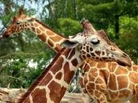 Girafes ...