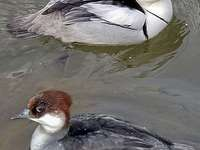 Bielaczek - Bielaczek [4], het witstaarthoen [5] (Mergellus albellus) - een soort middelgrote trekkende watervog