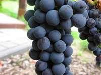 Koście winogron