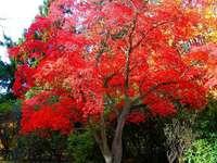 Ιαπωνικό κόκκινο δέντρο σφενδάμνου - Ιαπωνικό κόκκινο δέντρο σφενδάμνου
