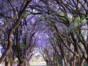 Avenida azul-violeta com árvores - Avenida azul-violeta com árvores