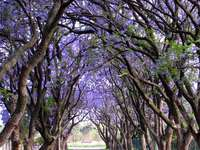 Blue-violet avenue of trees - Blue-violet avenue of trees