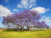 Two jacaranda trees in Hawaii - Two jacaranda trees in Hawaii