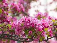 Crabapple virágfa
