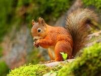 Καρύδια σπασίματος σκίουρου - Καρύδια σπασίματος σκίουρου