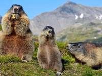 Marmottes dans les Abruzzes Italie - Marmottes dans les Abruzzes Italie