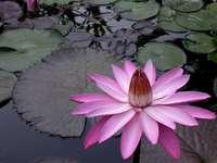 Flor nenufar