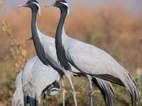 Steppe kraan - Steppekraan (Grus virgo) - een soort grote trekvogel uit de familie van kraanvogels (Gruidae). Bewoo