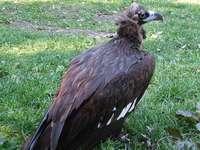 Kastanje gier - Kastanjegier [4] (Aegypius monachus) - een soort grote aasvogel uit de havikfamilie (Accipitridae),
