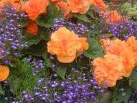 Λουλούδια σε καρότσι - Λουλούδια σε καρότσι, Οθόνη κήπου