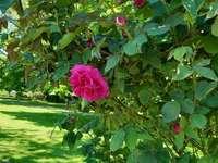 cserje rózsavirággal
