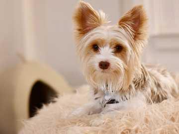 fehér és barna hosszú szőrű kis kutya - A kutyus terrier-keverék kutya ellazul egy szőrös takarón egy ágy mellett. Orlando, FL, USA