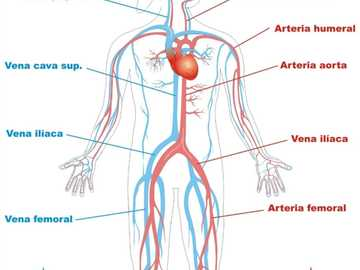 The parts of the circulatory system - It is important to know the parts of the circulatory system to take care of them